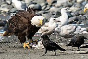 An adult bald eagle threatens a raven that got too close to fish scraps on the beach at Anchor Point, Alaska.