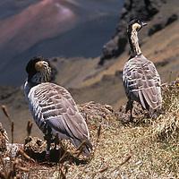 Ne Ne Hawaiian Goose