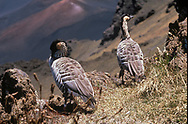 The nene (Branta sandvicensis), also known as nēnē and Hawaiian goose, is a species of bird endemic to the Hawaiian Islands. The official bird of the state of Hawaiʻi, the Nene is exclusively found in the wild on the islands of Oahu, Maui, Kauaʻi, Molokai, and Hawaiʻi