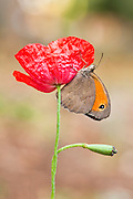 meadow brown (Maniola telmessia) on a red poppy. Photographed in Israel in spring April