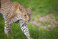 A female leopard (Panther pardus) walks through the bush in Kruger National Park, South Africa.