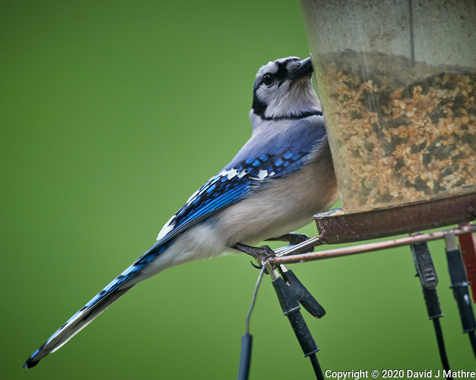 Blue Jay. Image taken with a Nikon D5 camera and 600 mm f/4 VR lens (ISO 640, 600 mm, f/5.6, 1/1250 sec)