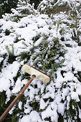 Clearing snow off a shrub with a broom