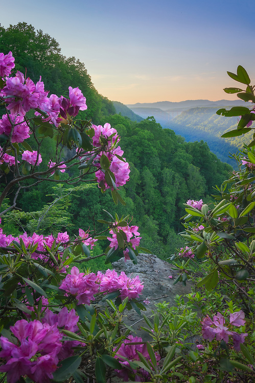 The purple/pink spring blooms of Rhododendron catawbiense line the cliff areas throughout the New River Gorge in West Virginia, the New River bridge can be seen in the distance against the setting sun.