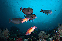 Surgeonfishes and Wrasses backed up at a cleaning station<br /> <br /> Shot in Indonesia