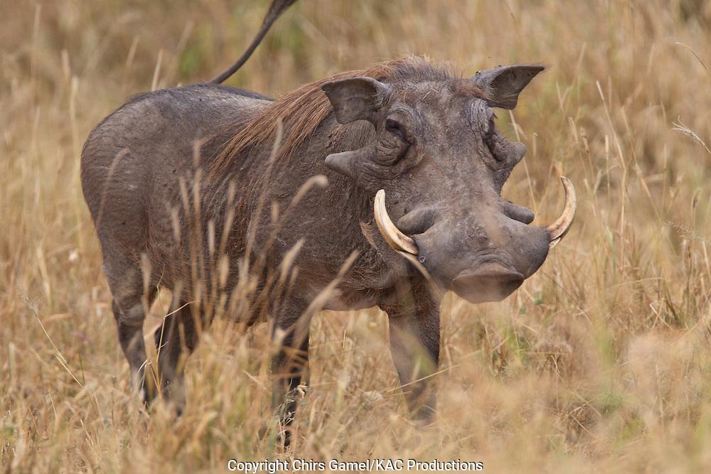 Warthog walking in the grass.