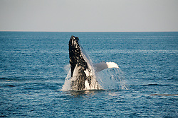 A humpback whale breaching on the Kimberley coast.