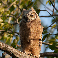 Great horned owl. Story Hills, Bozeman, Montana.