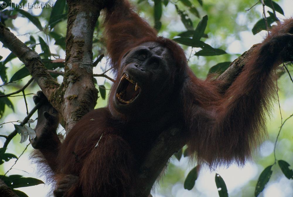 An orangutan (Pongo pygmaeus) named Rob bares his canine teeth.
