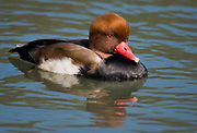 Red-crested Pochard, Netta rufina, from Camargue, France. Male.
