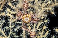 Astroceras elegans (Brittle Star)