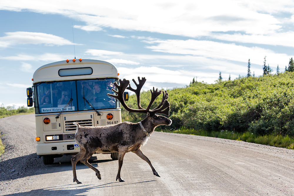 Caribou (Rangifer tarandus) crosses in front of tour bus near Savage River in Denali National Park in Southcentral Alaska. Summer. Evening.