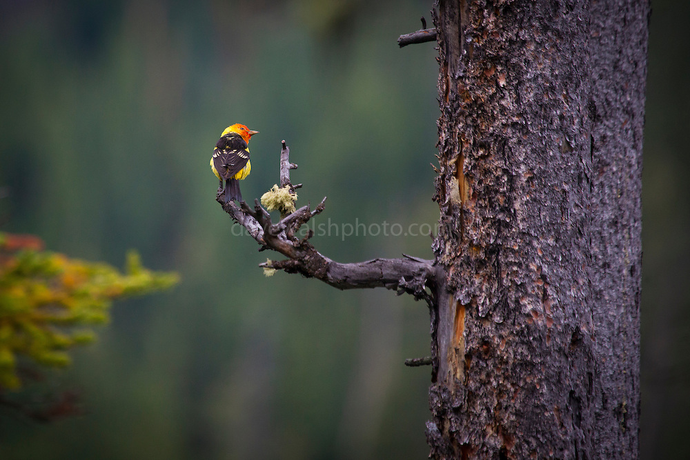 Western Tanager, Piranga ludoviciana, Grand Teton National Park, Wyoming, USA