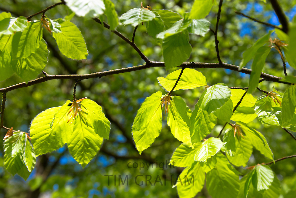 Beech leaves, Fagus sylvatica, on a tree in Bruern Wood in The Cotswolds, Oxfordshire, UK
