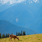 Deer at Hurricane Ridge - Olympic National Park, WA
