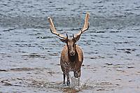 Rocky Mountain Elk.  Bull elk (Cervus elaphus) in velvet in Marys Lake near Estes Park, Colorado.