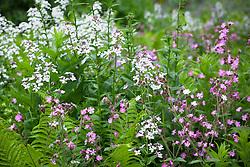Hesperis, campion and ferns at Hidcote Manor Garden. Hesperis matronalis, Silene dioica. Sweet Rocket, Dame's Violet