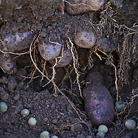 Purple heirloom potatoes in the ground, their roots visible.