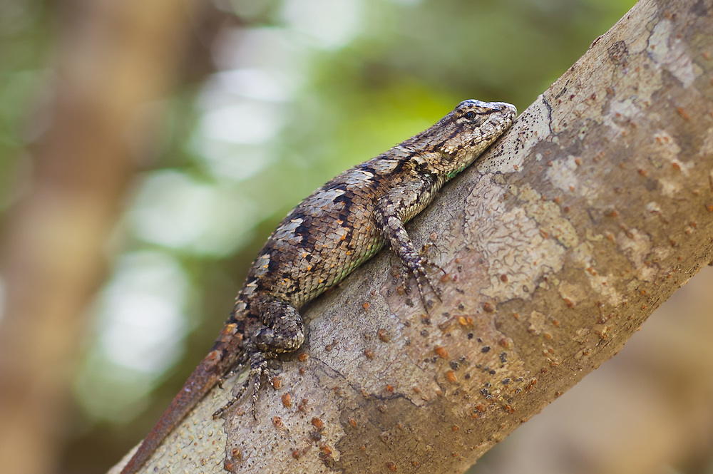 A very gravid eastern fence lizard (Sceloporus undulatus) clings to a small tree in Southern Georgia. She was so heavy with eggs that she was nearly unable to speed away when I took this shot.