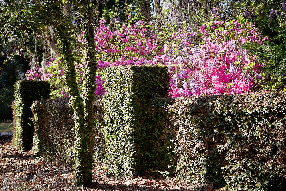 Azeleas bloom in Summerville, South Carolina