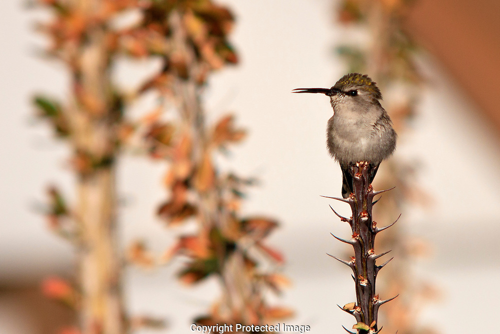 Female Costa's Hummingbird resting in spiny Ocotillo tree in southwestern Arizona