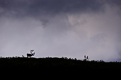 A caribou is silhouetted on a ridge in the Sable Pass area of Denali National Park and Preserve in Alaska. The caribou pictured is collared for research.