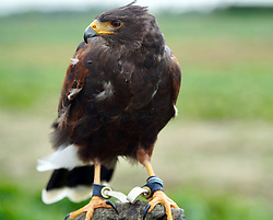 © Licensed to London News Pictures. 18/05/20. Hillam, UK. <br />Geoff the Harris Hawk who has been hired by Charlotte Wells-Thompson who own Berts Barrow, a small family run farm in Hillam North Yorkshire, to carry out daily patrols of the strawberry fields. In recent years the fields have been overrun by crows who destroy the fruit ,and cost the business thousands of pounds, but thanks to Geoff the crows have stayed away and this year looks to be a bumper crop. Photo credit: Scott Merrylees/LNP