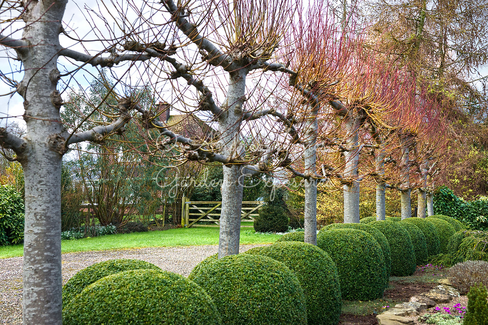 Car park area with Buxus sempervirens (Box) balls and line of pleached Tilia cv (lime) trees. <br /> <br /> Ivycroft Plants, Herefordshire, England
