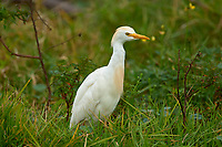 Cattle Egret (Bubulcus ibis), Arthur R Marshall National Wildlife Reserve - Loxahatchee, Florida, USA.    Photo: Peter Llewellyn
