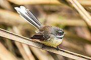 New Zealand Fantail, Southland