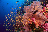 Anthiases swimming over a reef  covered in sea fans and soft corals. Primarily Lyretail Anthias (Pseudanthias squamipinnis)   .Vatu-i-Ra, Fiji
