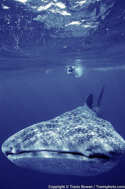 A massive whaleshark and snorkeler swim in the deep blue of the Kona Coast, Hawaii.