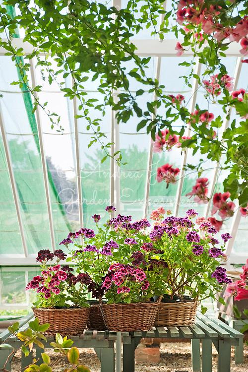 Pelargonium varieties planted in wicker baskets in the Walled Garden glasshouse<br /> <br /> Kelmarsh Hall &amp; Gardens, Northamptonshire, England
