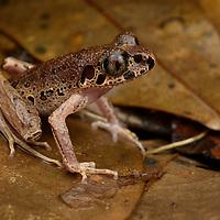 Painted Slender Litter Frog (Leptolalax pictus)
