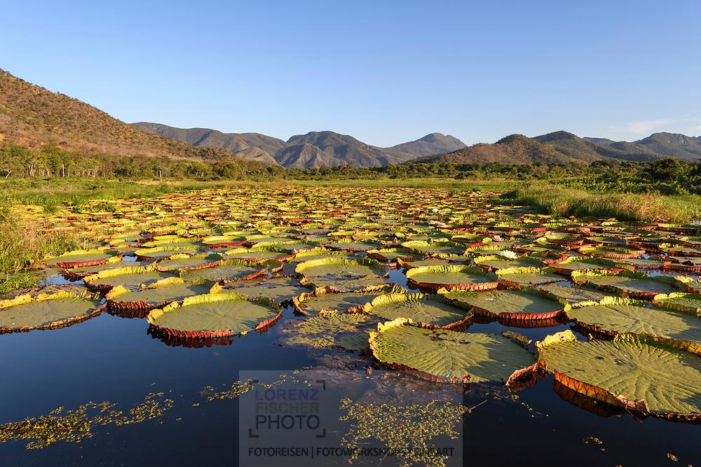 Amazonas-Riesenseerose (Victoria amazonica) in the Pantanal, Mato Grosso do Sul, Brazil