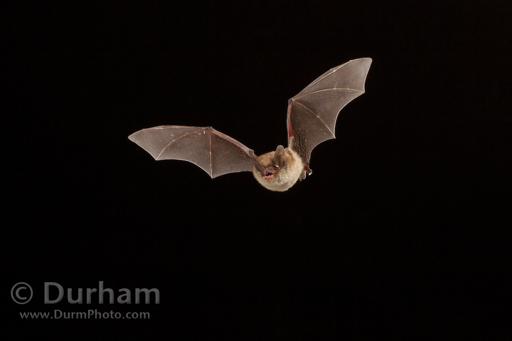 Male northern long-eared myotis (Myotis septentrionalis) photographed in the Cherokee National Forest, Tennessee.