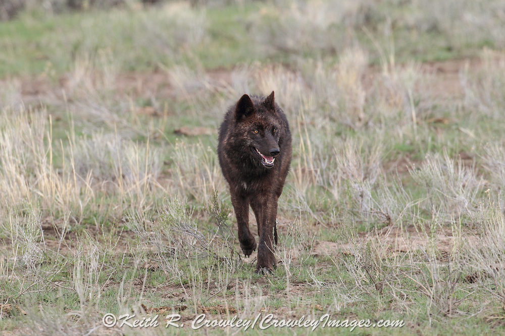 Black wolf trotting toward viewer.