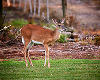Doe with her tongue out.  Image taken with a Nikon D4 Camera and 600 mm f/4 VR lens