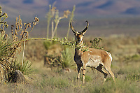 Pronghorn buck browsing on a Yucca , Armendaris ranch