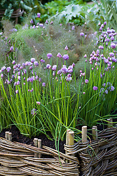 Allium schoenoprasum (chives) growing in a woven willow raised bed.