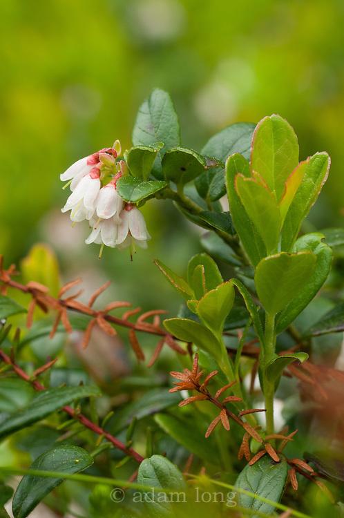 Cowberry, Vaccinium vitis-idaea, grwoing below Stanage edge in the Peak District