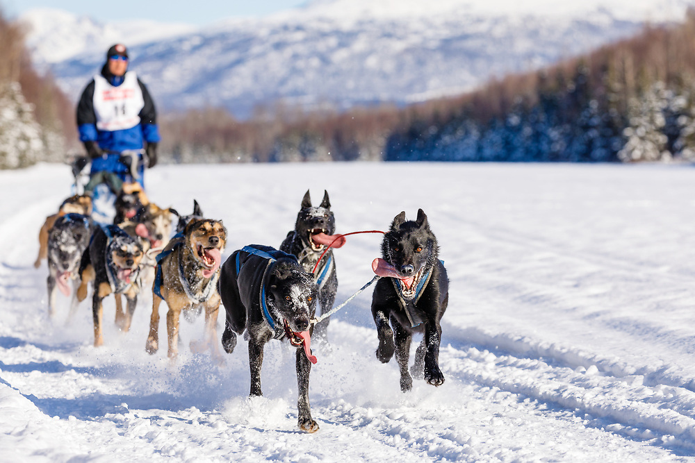 Musher Greg Taylor competing in the Fur Rendezvous World Sled Dog Championships at Campbell Airstrip in Anchorage in Southcentral Alaska. Winter. Afternoon.