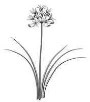 X-ray image of an African blue lily plant (Agapanthus, black on white) by Jim Wehtje, specialist in x-ray art and design images.