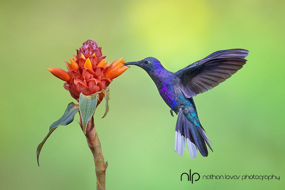 Violet Sabrewing Hummingbird feeding on flower;  Costa Rica, in wild.