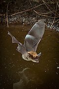 Western long-eared bat (Myotis evotis) drinking from a desert watering hole in Central Oregon. © Michael Durham / www.DurmPhoto.com
