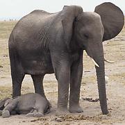 African Elephant, (Loxodonta africana)  Adult with sleepy baby. Kenya. Africa.