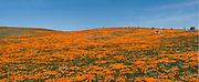 California Poppy, Field, panorama CGI Backgrounds, ,Beautiful Background