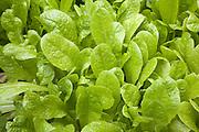 Lettuce plants close up