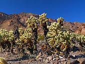 Cholla Cactus, Teddy Bear / Cylindropuntia bigelovii