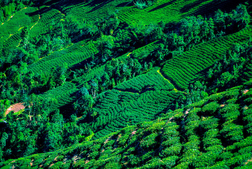 Tea plantations, near Darjeeling, West Bengal, India